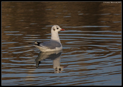 Black-headed gull in winter plumage, Portsmouth, England, UK, December 2009