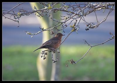 Eurasian Blackbird Female, Portsmouth, England, UK, December 2009