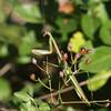 Mantis Praying 127