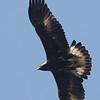 Eagle Golden 156