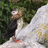 Puffin with nesting material.