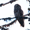 2013 Great Gray Owl 022