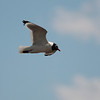 2013 Franklin's Gull 761