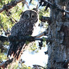 2013 Great Gray Owl 048