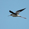 2013 Black-necked Stilt 726
