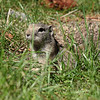2013 Calif Ground Squirrel  188