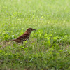 Brown Thrasher 2012 0318