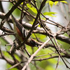 Bay-breasted Warbler 2012 0931