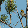 Black-throated Green Warbler 2012 1765