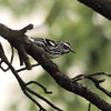 Black-and-white Warbler 2012 0016