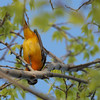 Baltimore Oriole 2012 1167