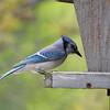 Blue Jay 2012 1610