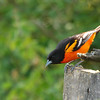 Baltimore Oriole 2012 2072