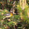 Blackburnian Warbler 2012 1743