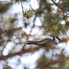 Black-capped Chickadee 2012 1937