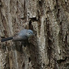Blue-gray Gnatcatcher 2012 0872