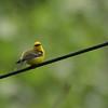 Blue-winged Warbler 2012 0140