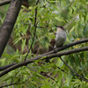 Black-billed Cuckoo 2012 0828