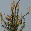 Clay-colored Sparrow 2012 2269