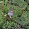 Chipping Sparrow 2012 0097