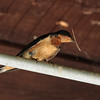 Barn Swallow 2012 0292