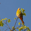 Baltimore Oriole 2012 _MG_1158