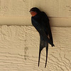 Barn Swallow 2012 _MG_0608