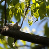 Blue-gray Gnatcatcher 2012 _MG_0706