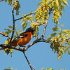 Baltimore Oriole 2012 _MG_1248