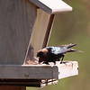 Brown-headed Cowbird 2012 _MG_1629