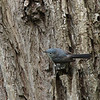 Blue-gray Gnatcatcher 2012 _MG_0869