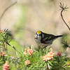 Chestnut-sided Warbler 2012 _MG_1919