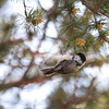 Black-capped Chickadee 2012 _MG_1929