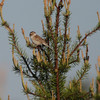 Clay-colored Sparrow 2012 _MG_2276