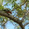 Blackburnian Warbler 2012 _MG_0654
