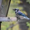 Blue Jay 2012 _MG_1594
