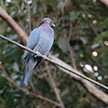 Scaly-naped Pigeon 2017 0447