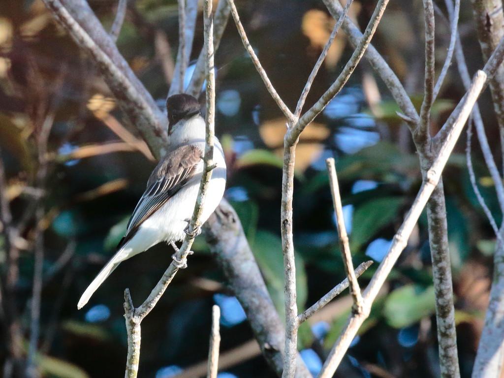Loggerhead Kingbird 2017 0463