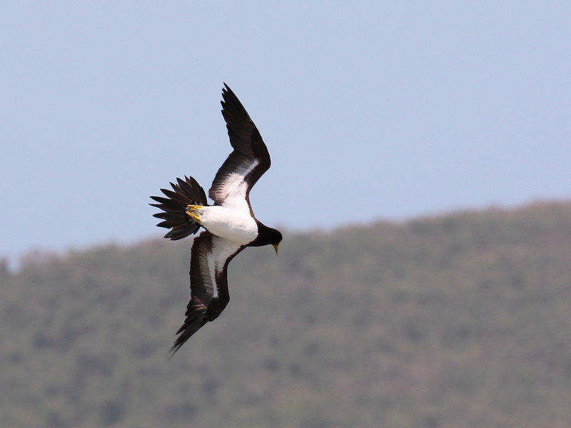 Brown Booby 2017 0908