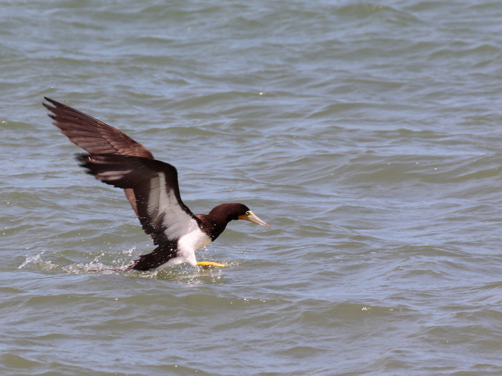 Brown Booby 2017 0931