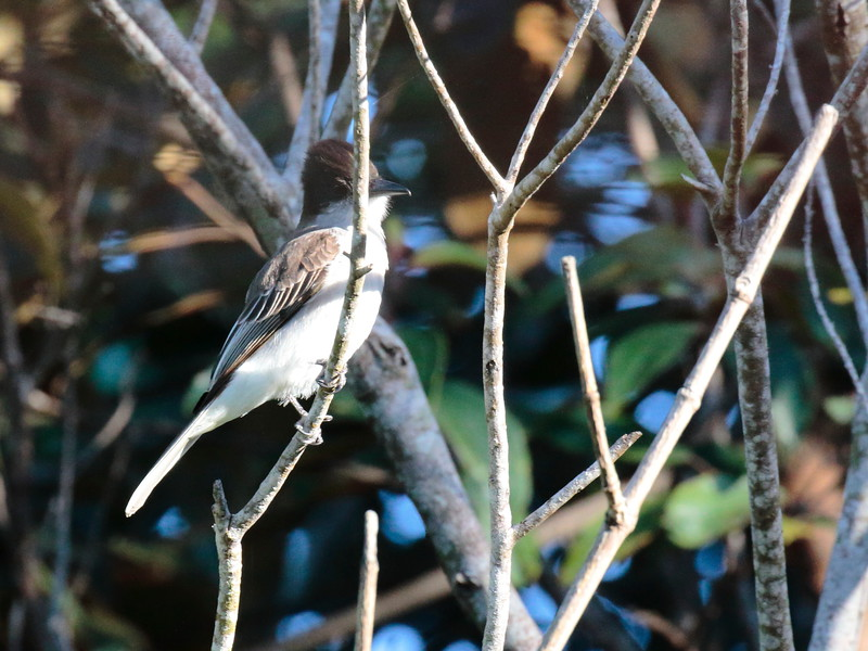 Loggerhead Kingbird 2017 0462