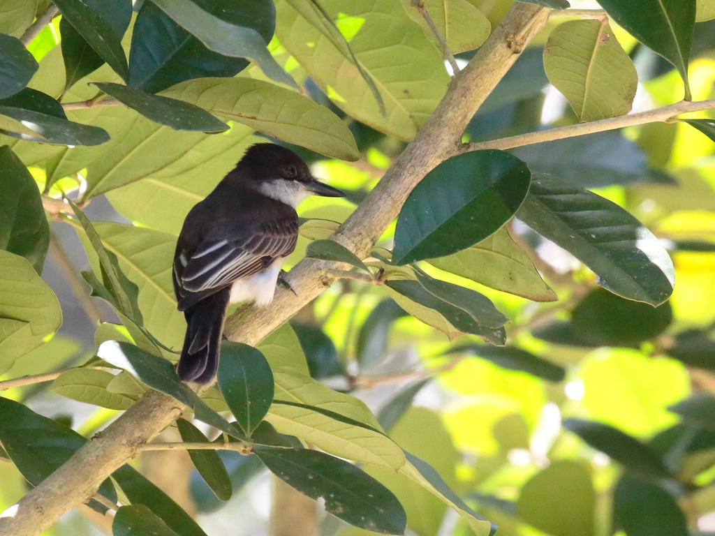 Loggerhead Kingbird 2017 0072