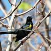 Yellow-shouldered Blackbird 2017 0317