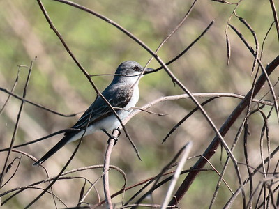 Gray Kingbird 2017 0155