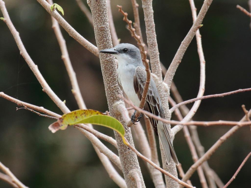 Gray Kingbird 2017 0068
