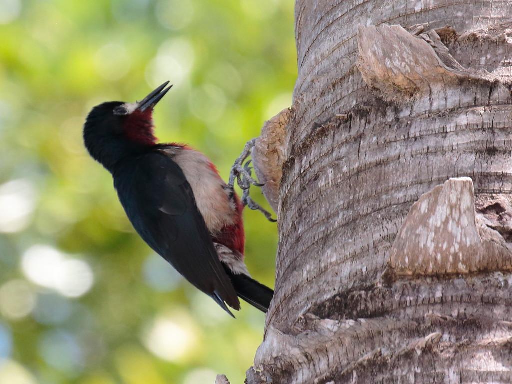 Puerto Rican Woodpecker 2017 0886