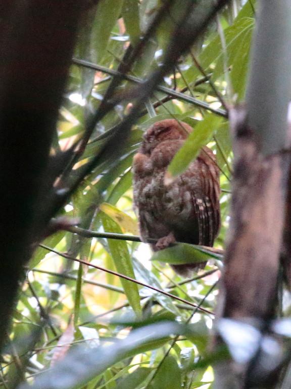 Puerto Rican Screech-Owl 2017 0051