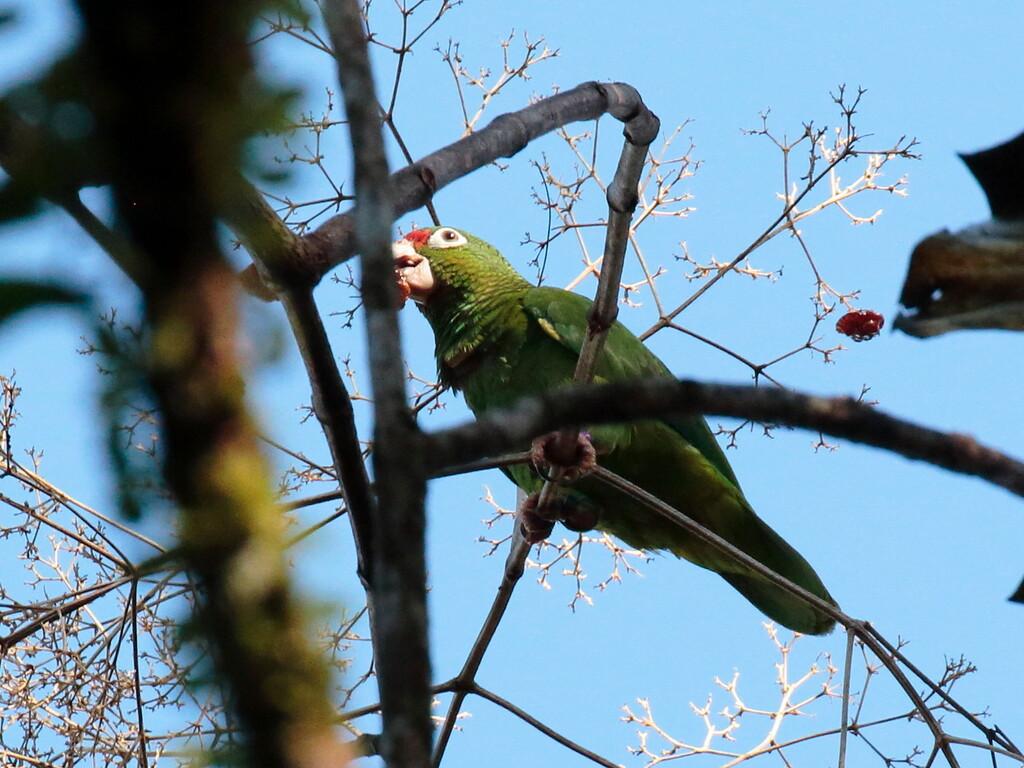 Puerto Rican Parrot 2017 0054