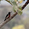 Puerto Rican Woodpecker 2017 0491