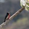 Puerto Rican Woodpecker 2017 0501